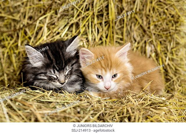 Norwegian Forest Cat. Pair of tired kittens in a barn, lying on straw. Germany