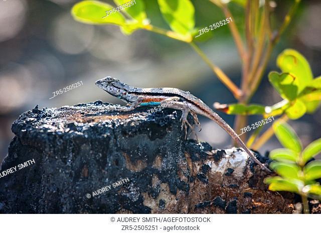 A colorful male Florida scrub lizard (Sceloporus woodi) basks on a burned tree stump; Florida, USA
