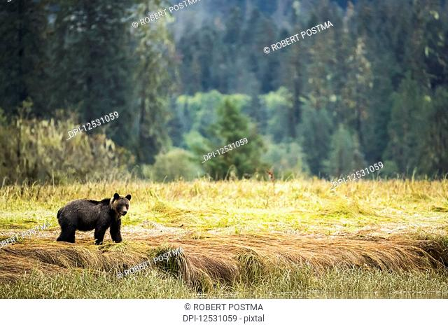 Grizzly bear (Ursus arctos horribilis) walking through the sedge grasses in the Great Bear Rainforest; Hartley Bay, British Columbia, Canada