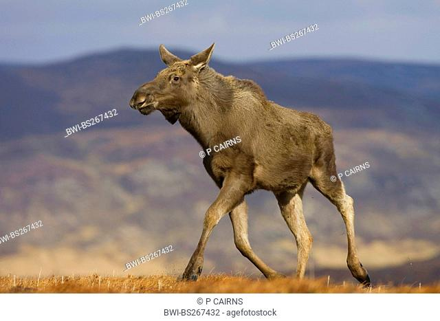 elk, European moose Alces alces alces, walking along ridge, United Kingdom, Scotland, Alladale Wilderness Reserve