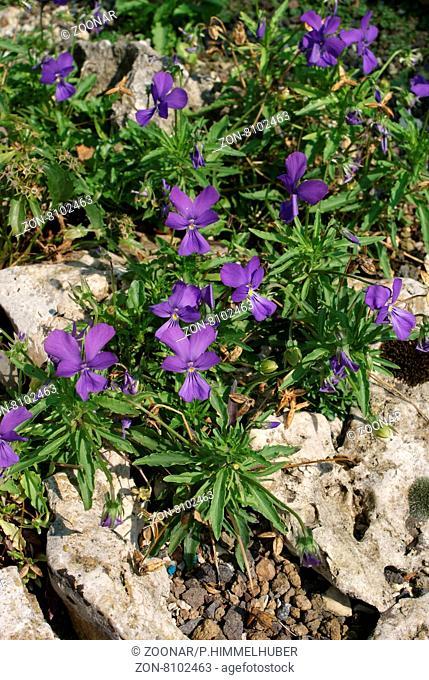 Viola dubyana, Dubys Veilchen, Dubys violet