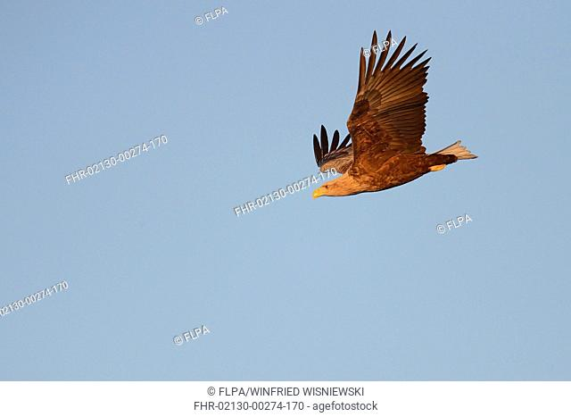 White-tailed Eagle (Haliaeetus albicilla) adult, in flight, Oulu, Northern Ostrobothnia, Finland, April