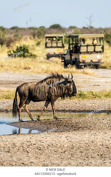 Blue wildebeest (Connochaetes taurinus) leaving pool with jeeps in the background; Botswana