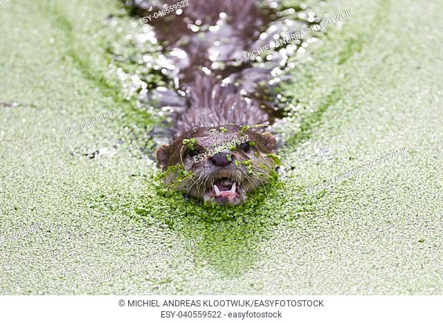 Humor: Small claw otter covered in duckweed