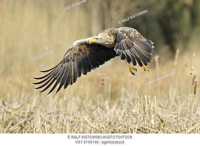 White tailed Eagle / Sea Eagle (Haliaeetus albicilla), impressive adult, flying close above wet land, surrounded by golden reed. . .