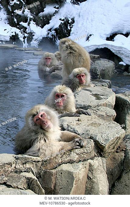 Japanese Macaque Monkeys - relaxing in hot springs (Macaca fuscata)