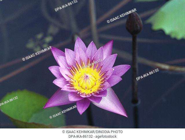 Water lily nymphaea stellata