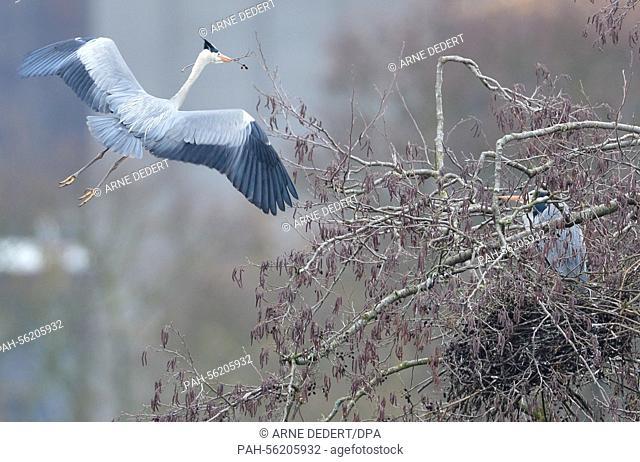 Gray heron arrives with nesting material in tis beak near Limburg, Germany, 26 February 2015. Photo: Arne Dedert/dpa | usage worldwide