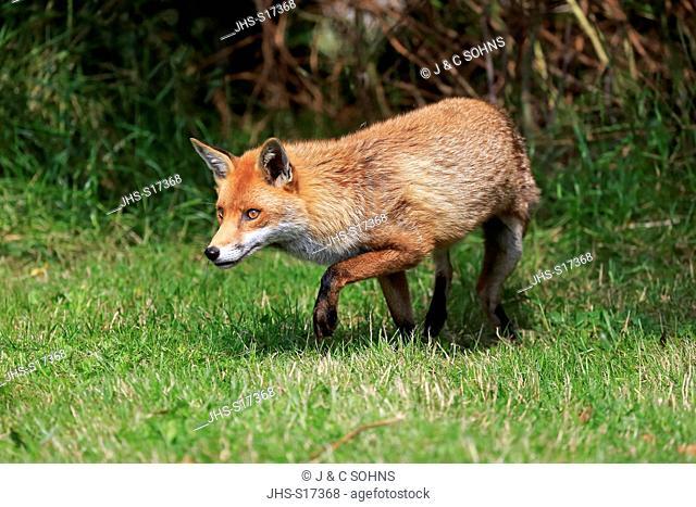 Red Fox, (Vulpes vulpes), adult stalking, Surrey, England, Europe