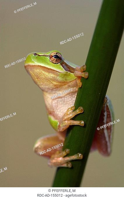 Stripeless Tree Frog Camargue Southern France Hyla meridionalis Mediterranean Treefrog