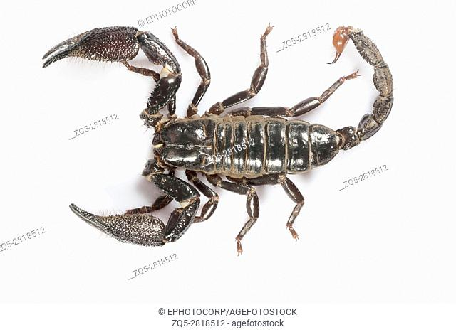 Burrowing scorpion, Heterometrus sp. , Udanti Tiger Reserve, Chhattisgarh. Large scorpion with massive pincers. Male has markedly larger pincers than the female