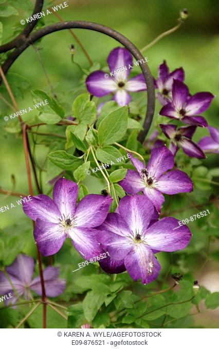 Purple and white striped flowers, bit of wrought-iron curved rail behind, garden, Bloomington, Indiana, USA