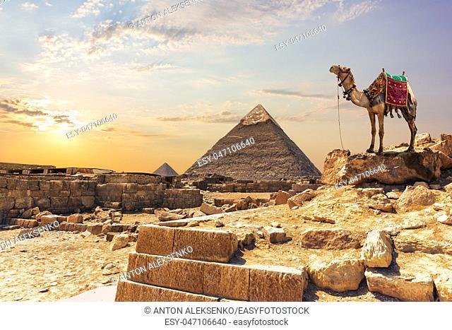 A camel near the Pyramid of Khafre in Giza, Egypt