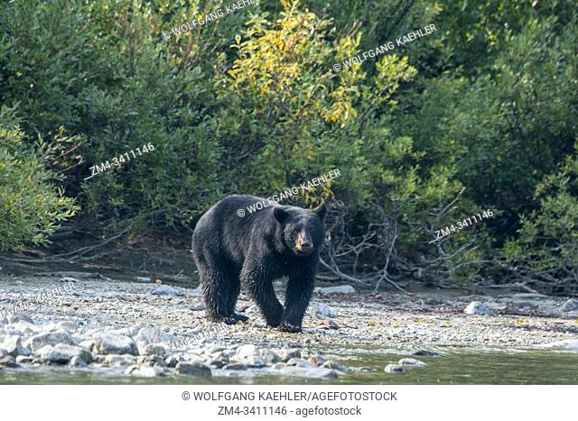 A Black bear (Ursus americanus) is looking for salmon along the shore of Lake Crescent in Lake Clark National Park and Preserve, Alaska, USA