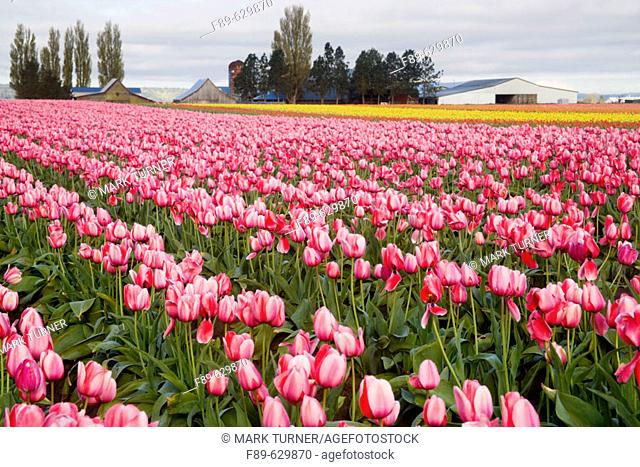 'Pink Impression' Tulips in farm field (Tulipa 'Pink Impression'). Tulip Town, Mt. Vernon, WA