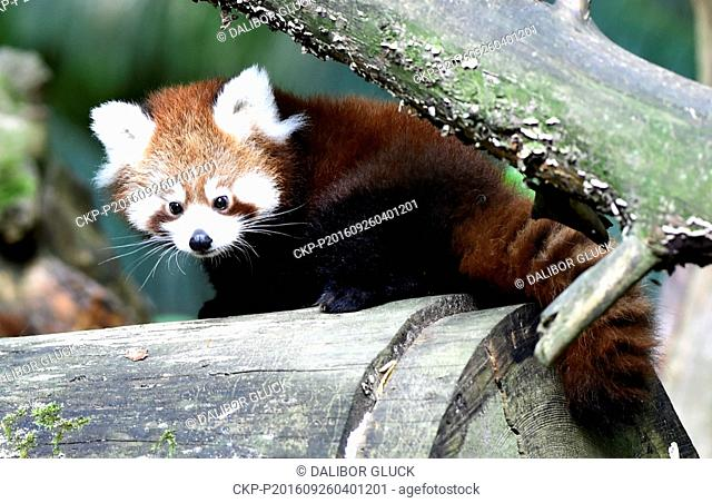 Red panda cub sits on a tree in the zoo Zlin, Czech Republic, September 26, 2016. (CTK Photo/Dalibor Gluck)