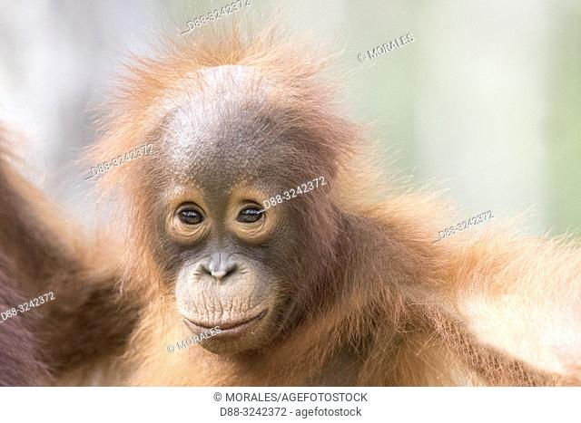 Asia, Indonesia, Borneo, Tanjung Puting National Park, Bornean orangutan (Pongo pygmaeus pygmaeus), baby