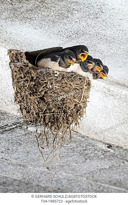 Young Swallow on nest, Hirundo rustica, Schleswig-Holstein, Germany