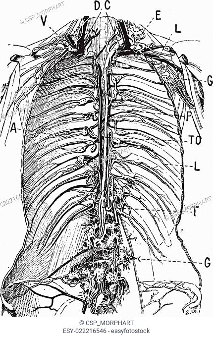 Lymphatic System, vintage engraving