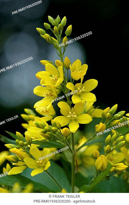 Garden Loosestrife, Lysimachia vulgaris / Gewöhnlicher Gilbweiderich, Lysimachia vulgaris