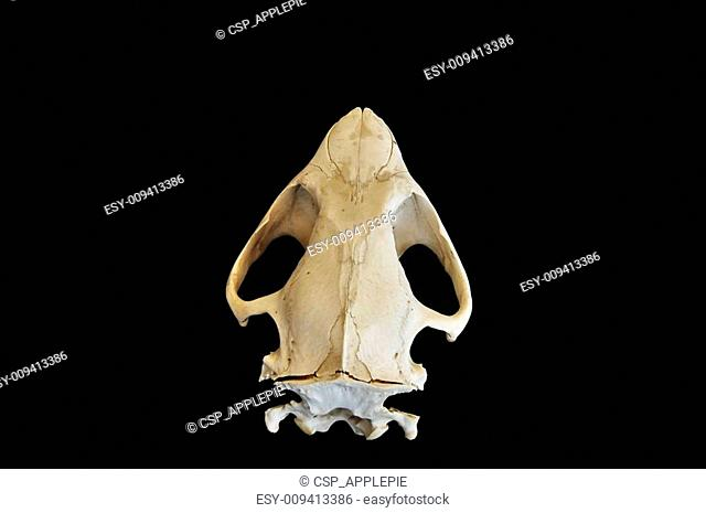 Beaver skull Stock Photos and Images   age fotostock