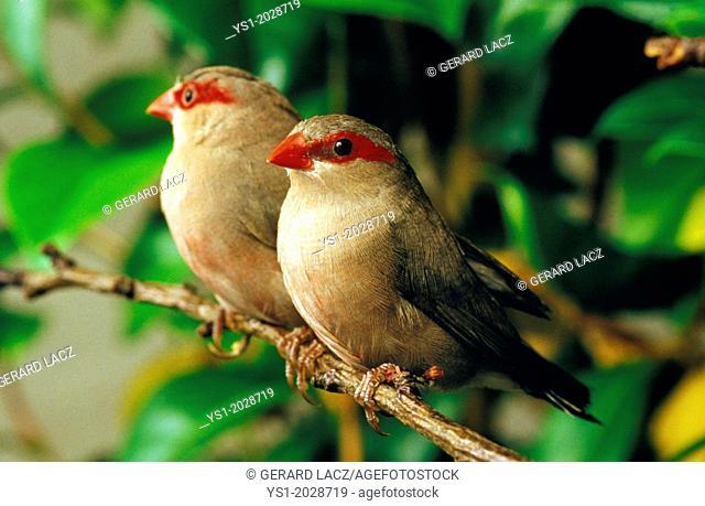 Black-Rumpted Waxbillor Red9Eared Waxbill, estrilda troglodytes, Adults standing on Branch