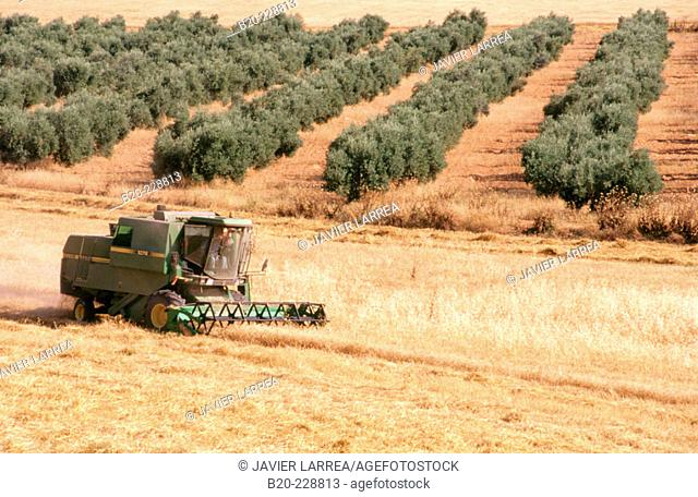 Wheat harvest, olive trees in background. Osuna. Seville province. Andalusia. Spain