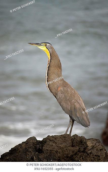 Bare-throated Tiger Heron, Tigrisoma mexicanum, Montezuma, Nicoya Peninsula, Costa Rica, Central America