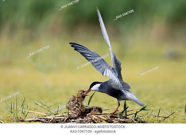 Whiskered tern, Chlidonias hybrida, feeding chicks at nest