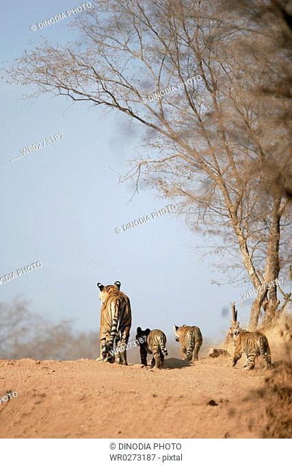 Tigress with cubs Panthera tigris searching prey , Ranthambore National Park , Rajasthan , India