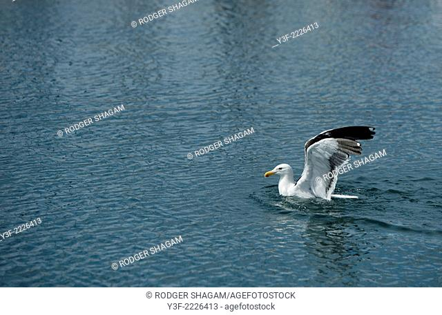 A seagull follows the fishing boats into harbour and settles on the water waiting for scraps