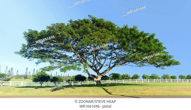 Large acacia or koa tree Kauai