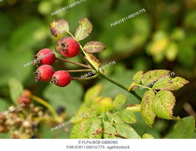 Field Rose (Rosa arvensis) close-up of ripe rosehips, Dorset, England, September