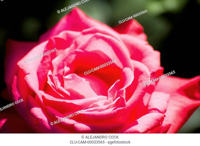 Rose of the Gardens of the Alhambra, Granada, Andalusia, Spain, Europe
