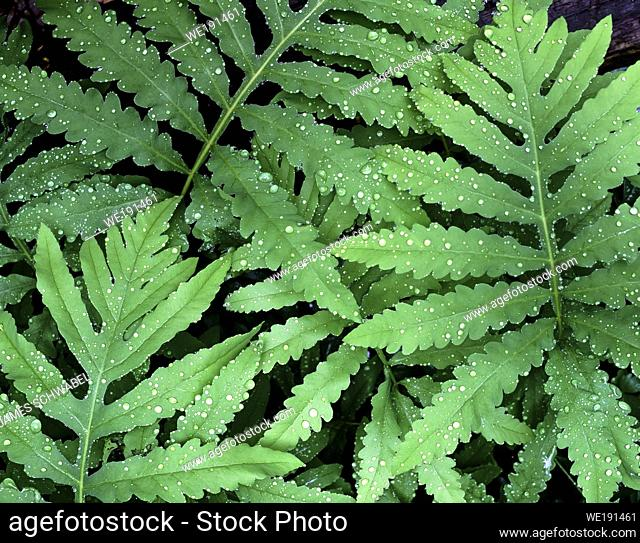 Close up of green fern fronds with water drops filling frame