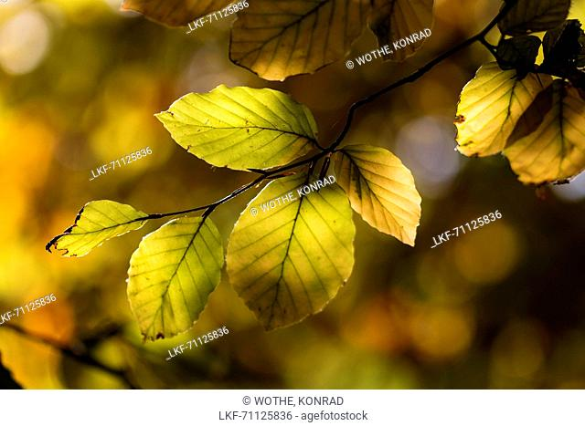 Beech leaves in fall, Fagus sylvatica, Upper Bavaria, Germany, Europe