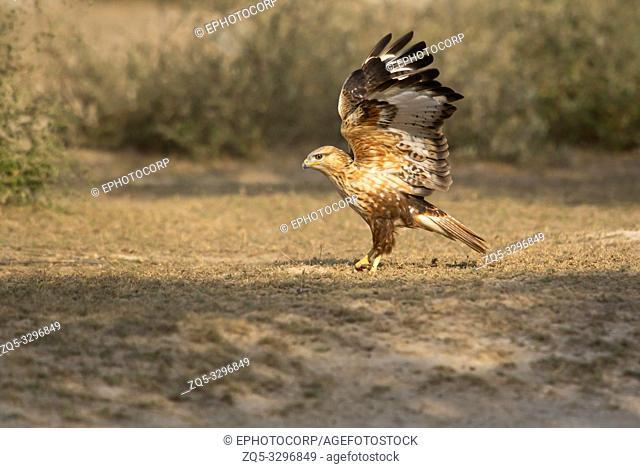 Long-legged buzzard, Buteo rufinus, Tal Chhapar Sanctuary, Rajasthan, India