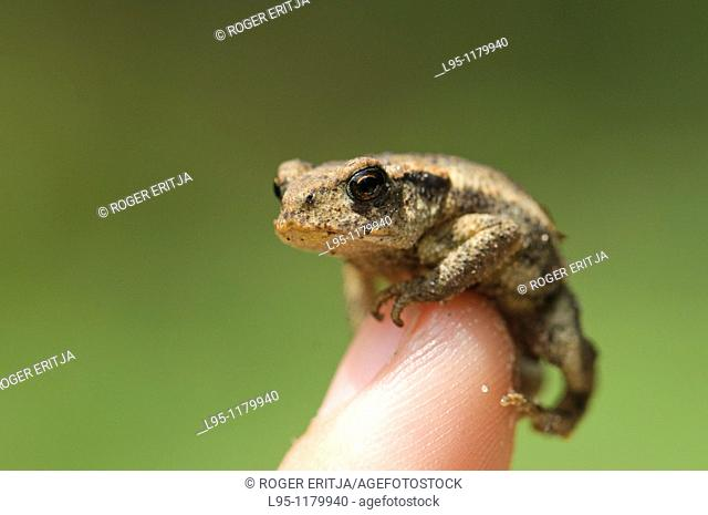 Young common Toad Bufo bufo, Spain