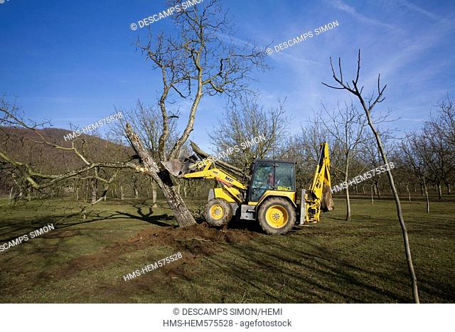 France, Isere, South Gresivaudan, removal of old walnut trees in the winter in a field near Vinay in the territory of the AOC Grenoble walnuts