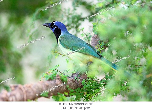 Close up of green jay perching in tree