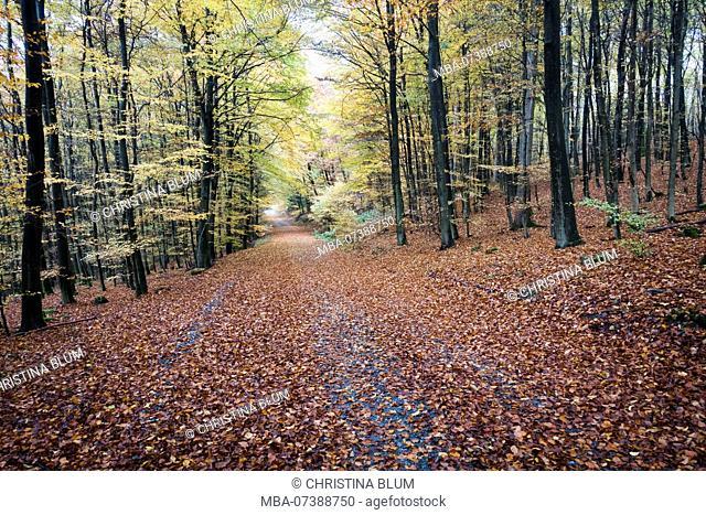 Beech forest in the Arnsberg Forest Nature Park in autumn, Hochsauerland, Sauerland, North Rhine-Westphalia, Germany