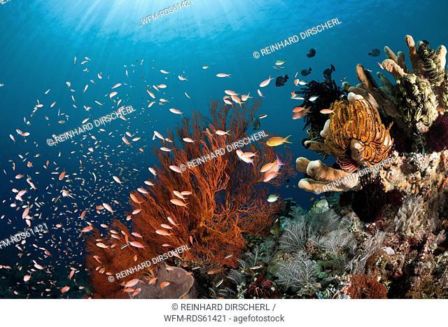Coral Reef, Amed, Bali, Indonesia