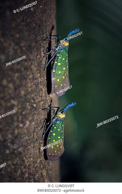 lanternflies, lantern flies, fulgorid planthoppers (Fulgora lampestris), two lantern flies at a tree trunk, Malaysia, Sabah, Danum Valley