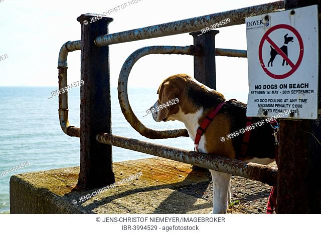 Dog ban on the beach, tricolor beagle dog next to prohibition sign, St Margaret's Bay, near Dover, Kent, England, United Kingdom