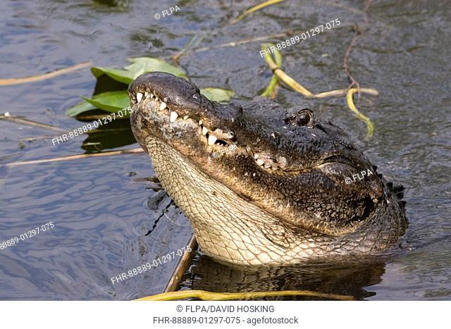 American Alligator, Alligator mississppiensis