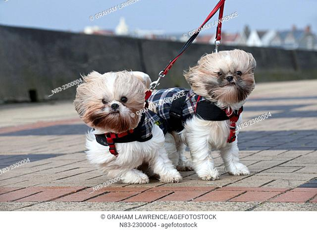 Two Shih Tzu dogs brace themselves against the Superstorm wind