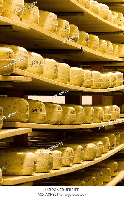Wheels of Cheese at Natural Pastures production facility. Courtenay, The Comox Valley, Vancouver Island, British Columbia, Canada