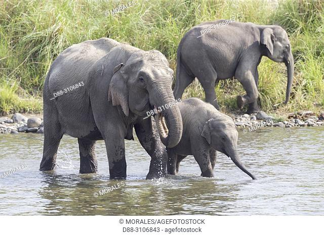Asia, India, Uttarakhand, Jim Corbett National Park, Asian or Asiatic elephant (Elephas maximus). Group drinking in the water