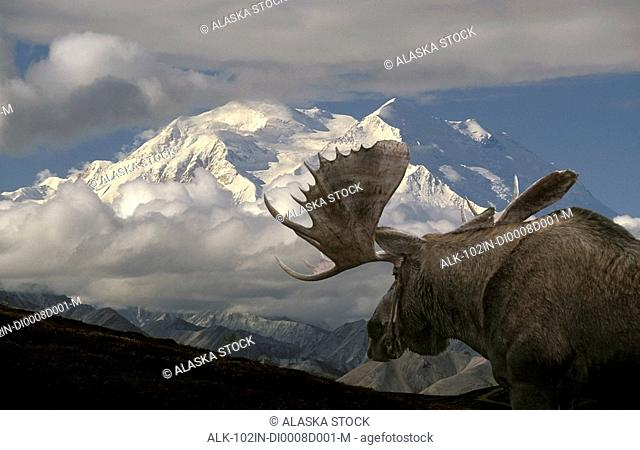 Bull moose walking toward Mt.McKinley Denali National Park Interior Alaska Autumn Composite
