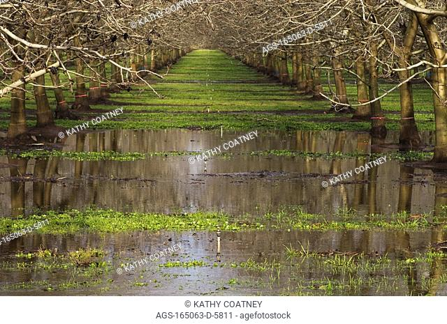 Agriculture - Dormant walnut orchard in late winter flooded by excessive rain / Northern CA - Tehama County, nr. Vina